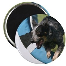 "Blue Heeler Agility Artwork 2.25"" Magnet (100 pack"