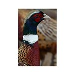 Ringtail Pheasant Rectangle Magnet (10 pack)