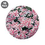 Phlox Candy Stripe 3.5