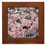 Phlox Candy Stripe Framed Tile