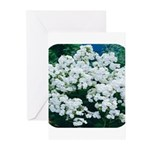 Phlox White Greeting Cards (Pk of 10)
