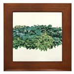 Hosta Clumps Framed Tile
