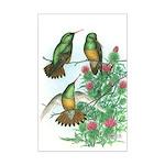 Buff-bellied Hummingbirds Mini Poster Print
