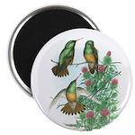 Buff-bellied Hummingbirds Magnet