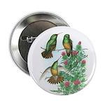 Buff-bellied Hummingbirds 2.25