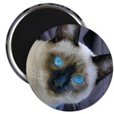 Cool Siamese cats Magnet