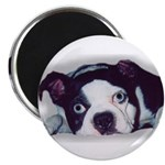 BOSTON TERRIER SWEET DOG 2.25