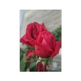 A001-RED ROSE Rectangle Magnet (10 pack)