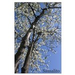 Sausalito Cherrry trees poster - March 2005