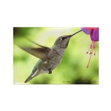 Anna's Hummingbird Rectangle Magnet Sunshine