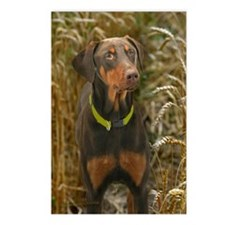 Red Doberman in Wheat Postcards (Package of 8)