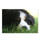Bernese Puppy Postcards (Package of 8)