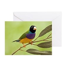 Gouldian Finch Greeting Card (10)