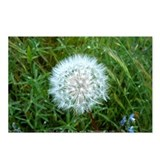 Dandelion Seed Head Postcards (Package of 8)