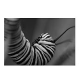 Monarch Caterpillar Postcards (Package of 8)