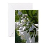 White Hosta Greeting Cards (Pk of 10)