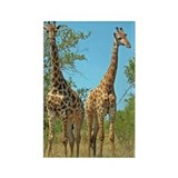 Pair of Giraffes Rectangle Magnet
