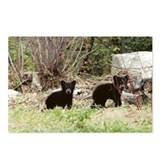 Black Bear cubs Postcards (Package of 8)