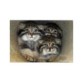 Pallas Cat kitten Rectangle Magnet
