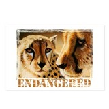 Endangered Cheetahs Postcards (Package of 8)