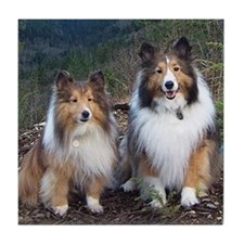 Cute Twin Shelties photo portrait Tile Coaster