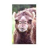 Dromedary Close-Up Rectangle Decal