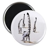 Ring-tailed lemurs ON THE ROAD AGAIN Magnet