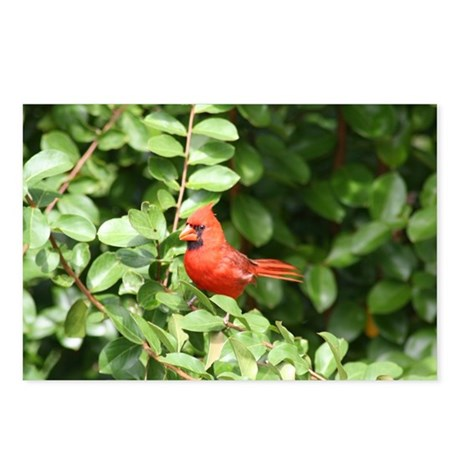 Cardinal Red Bird Postcards (Package of 8)