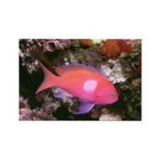 Pink and purple fish Rectangle Magnet (100 pack)