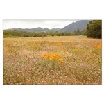 field of california poppies large poster