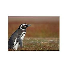 Falklands penguin Rectangle Magnet