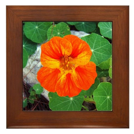 Orange Nasturtium Framed Tile