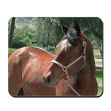 Bay Horse Wearing Silver Halter
