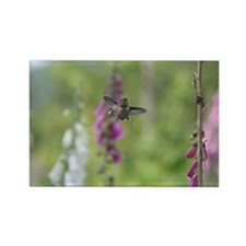 Rufous Hummingbird Rectangle Magnet (10 pack)