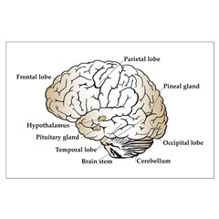 Brain Section Posters