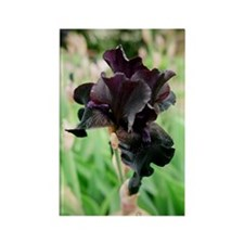 Black Iris > Rectangle Magnet (10 pack)