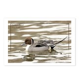 Northern Pintail Postcards (Package of 8)
