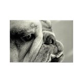 English Bulldog Closeup Rectangle Magnet