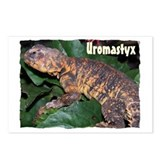 Uromastyx Postcards (Package of 8)