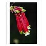 Firecracker Flowers Blooming Small Poster
