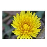 Yellow Dandelion Postcards (Package of 8)