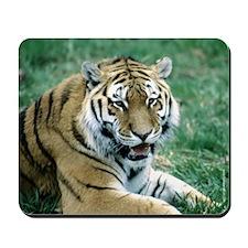 """Resting Tiger - B1"" Mousepad"