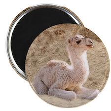 BABY CAMEL Magnet