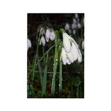 Snowdrops Rectangle Magnet