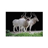 Addax Herd Rectangle Magnet