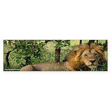 """Big African Lion"" Bumper Bumper Sticker"