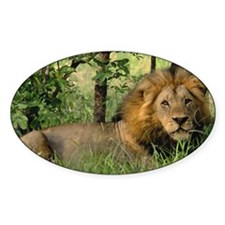 """""""Big African Lion"""" Oval Decal"""