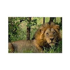 """Big African Lion"" Rectangle Magnet (10 pack)"