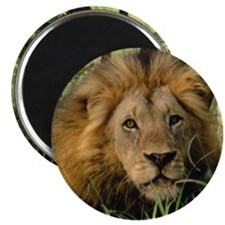 """Big African Lion"" 2.25"" Magnet (100 pack)"