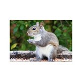 Squirrel Looking Rectangle Magnet (100 pack)